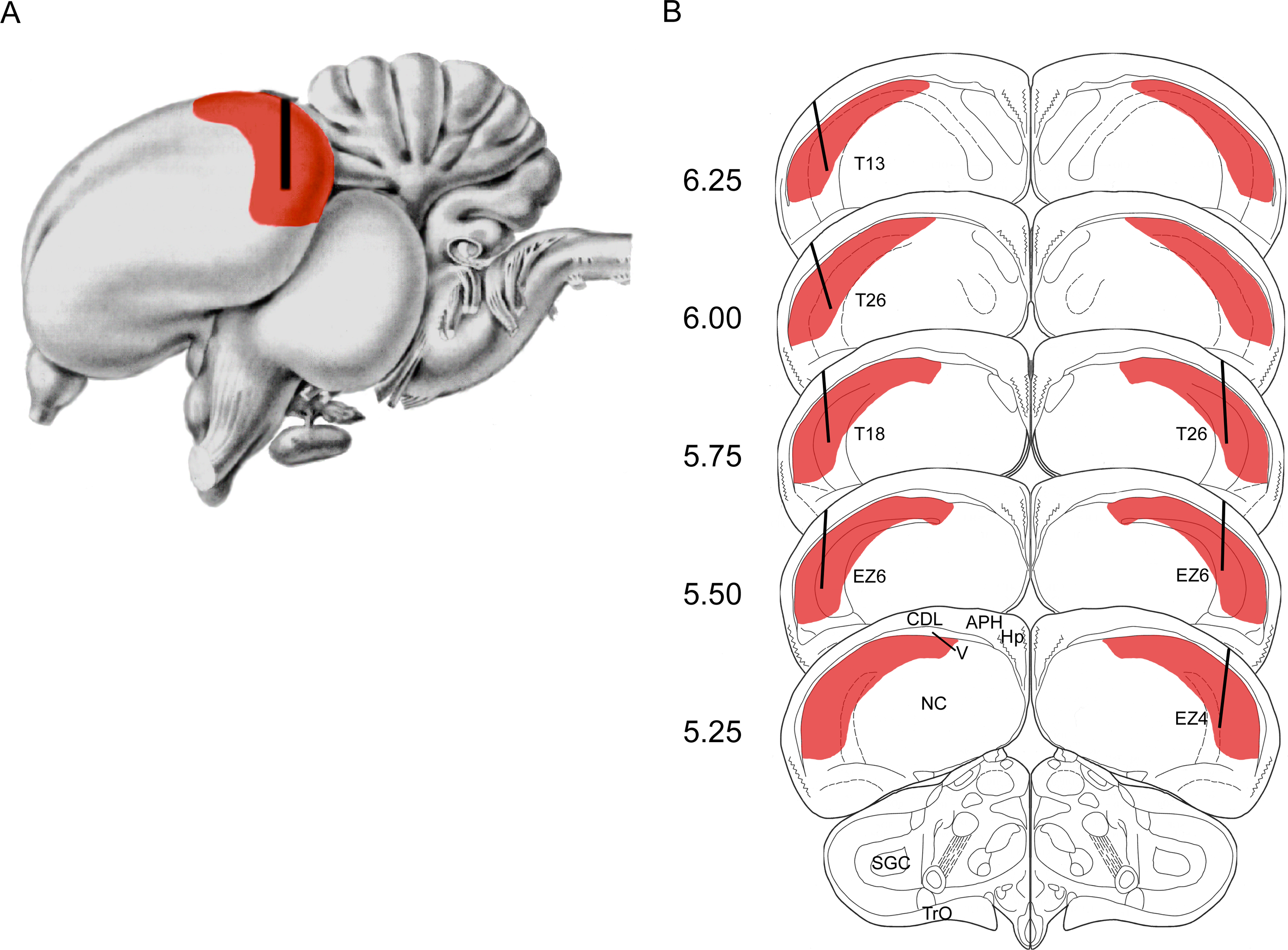 File:Hippocampus-Bird brain.png - Wikimedia Commons