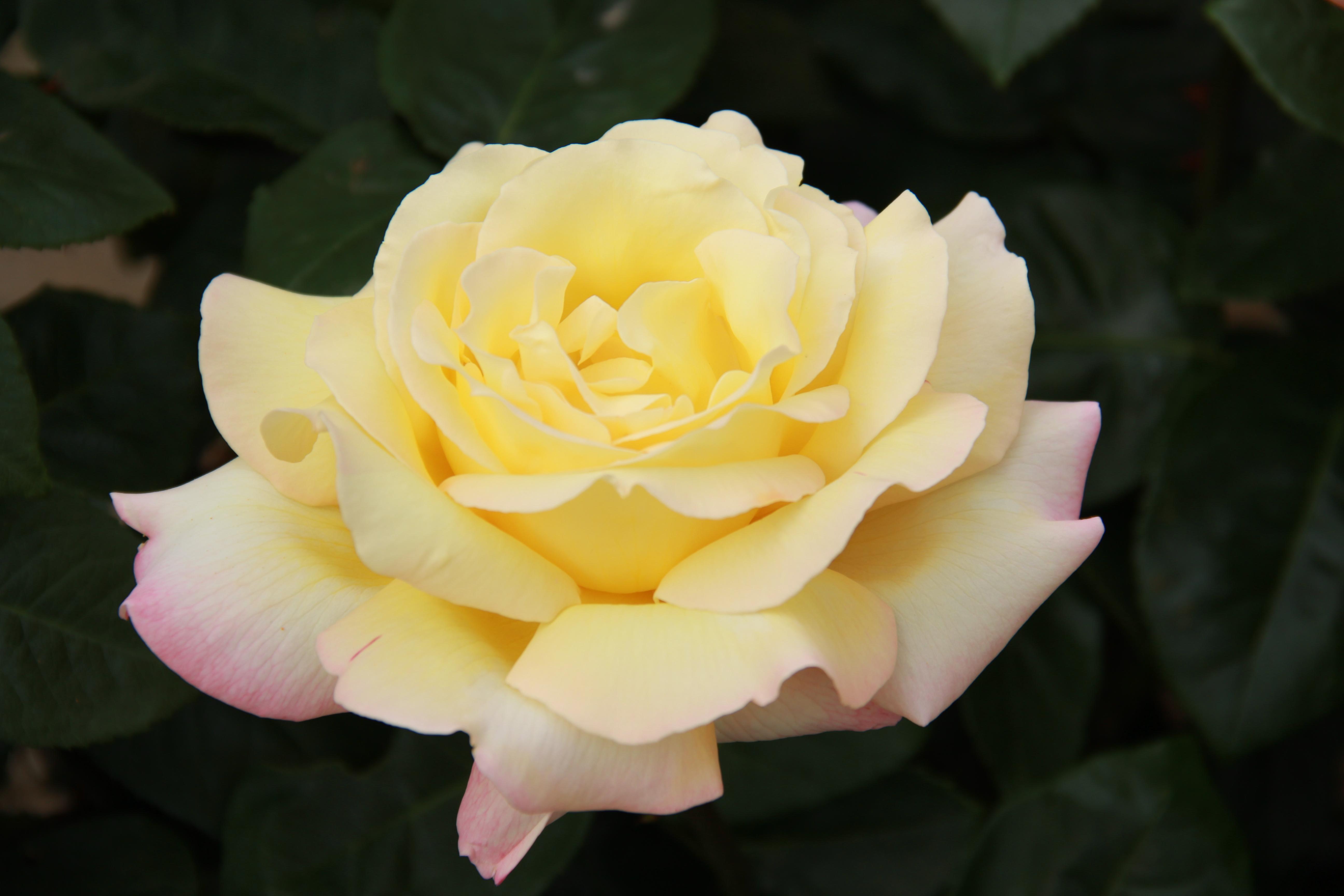 Hybrid Tea Rose Shea Roseship Room Spray