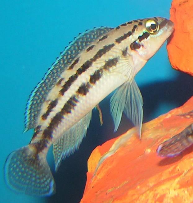 Julidochromis Dickfeldi Wikipedia