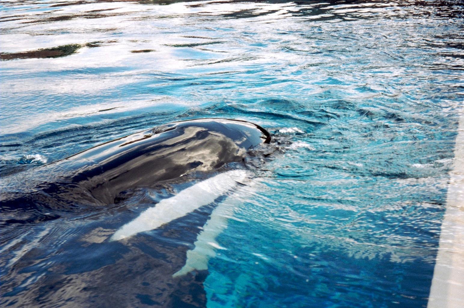 File:Killer Whale at Marineland.jpg - Wikimedia Commons