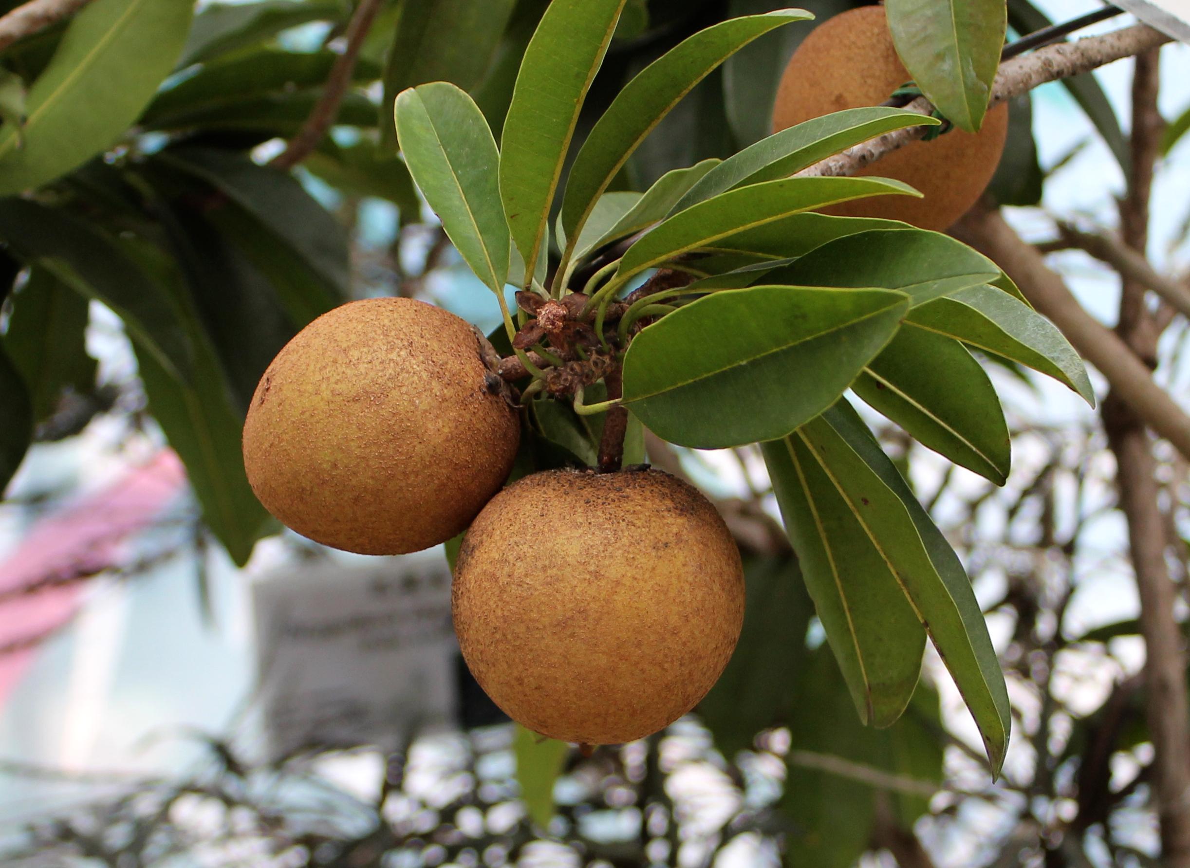 File:Manilkara Zapota in HK.JPG - Wikimedia Commons