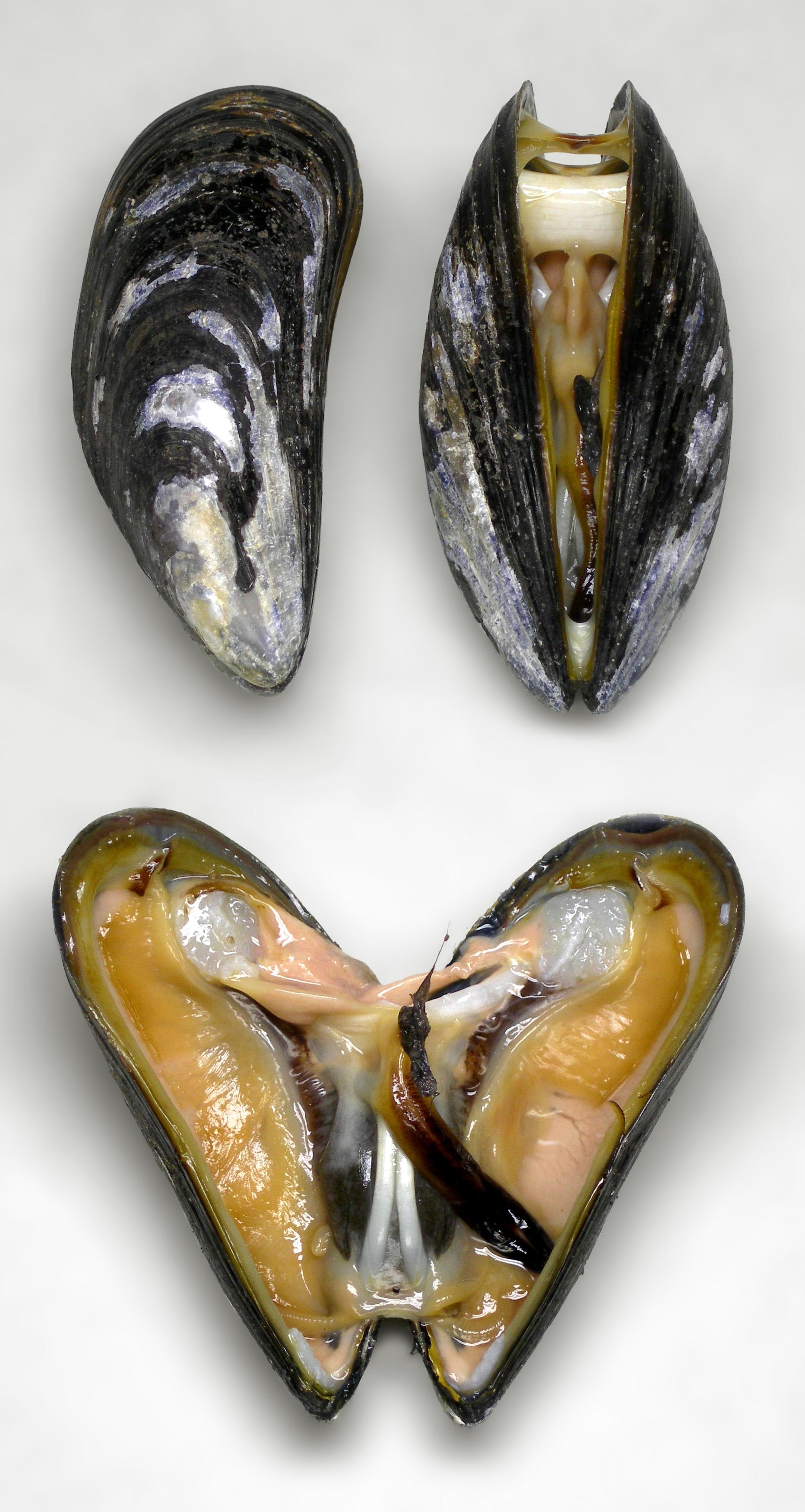 Blue Mussel Wikipedia