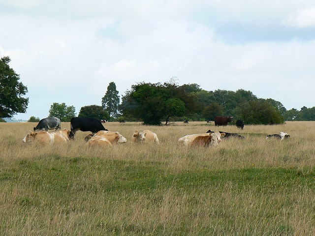 Minchinhampton Common and some cattle, near Minchinhampton - geograph.org.uk - 931032