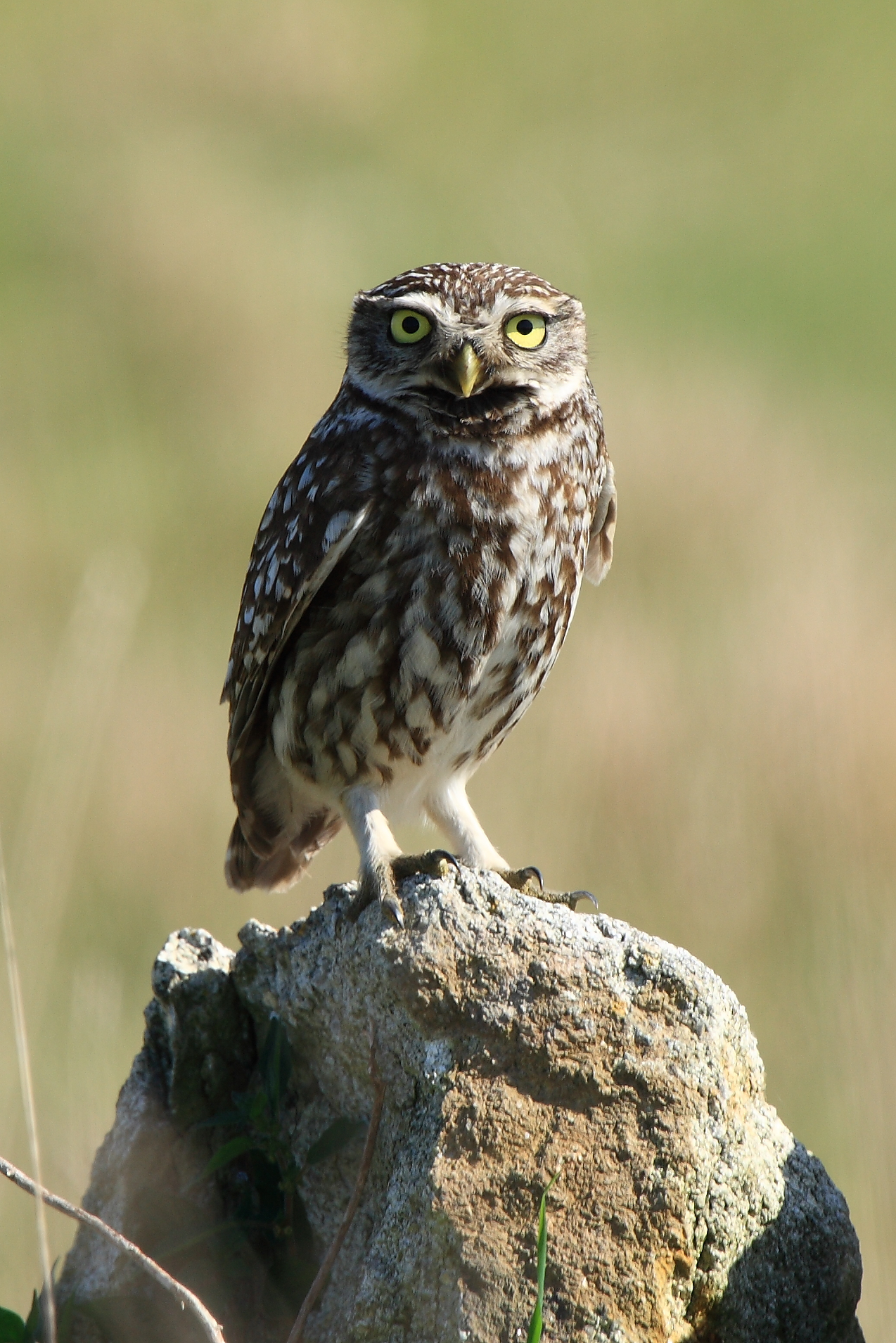 Little owl  Wikipedia