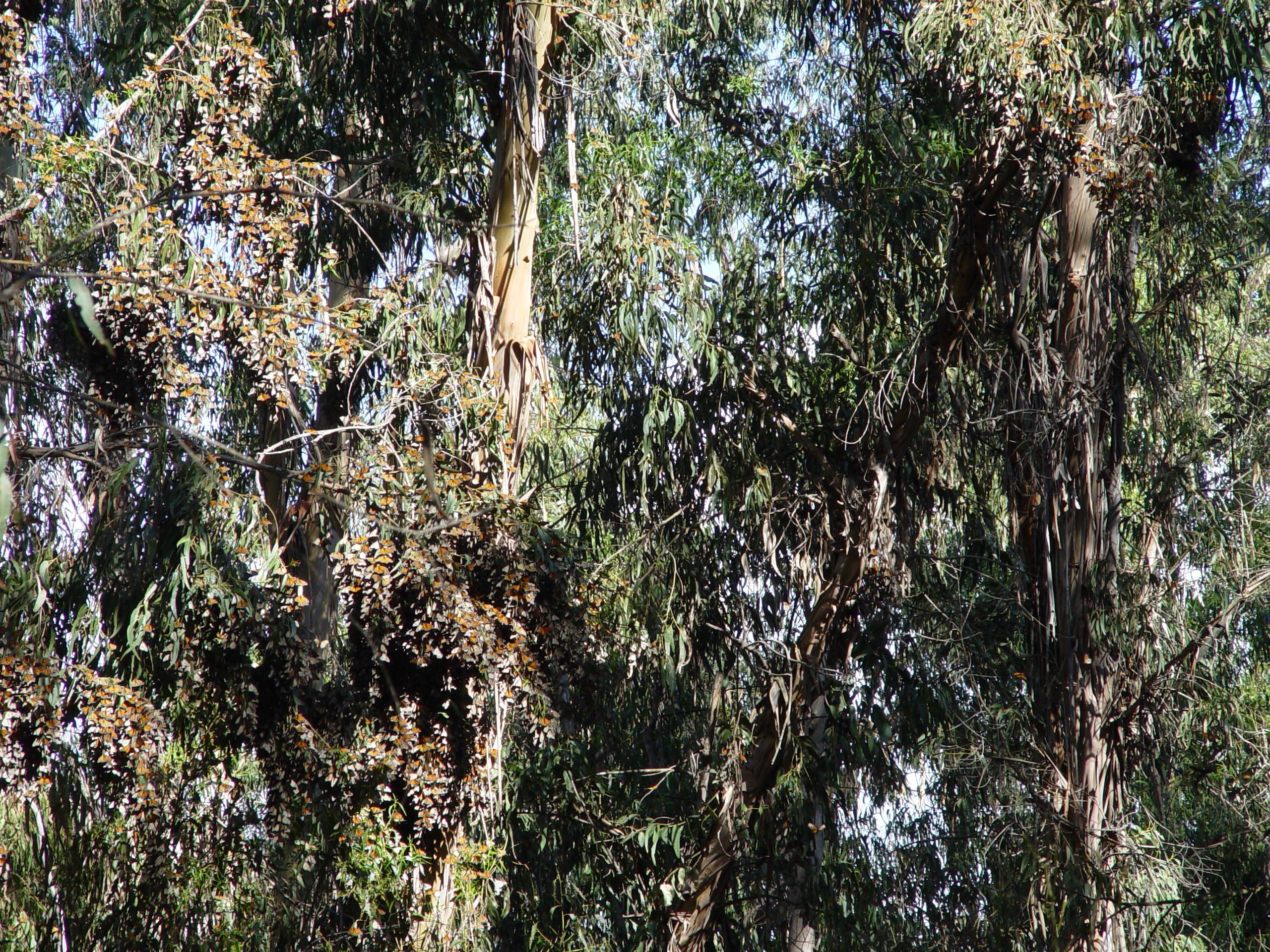 File Monarch Butterfly Tree Goleta Ca 2006 Jpg Wikimedia Commons