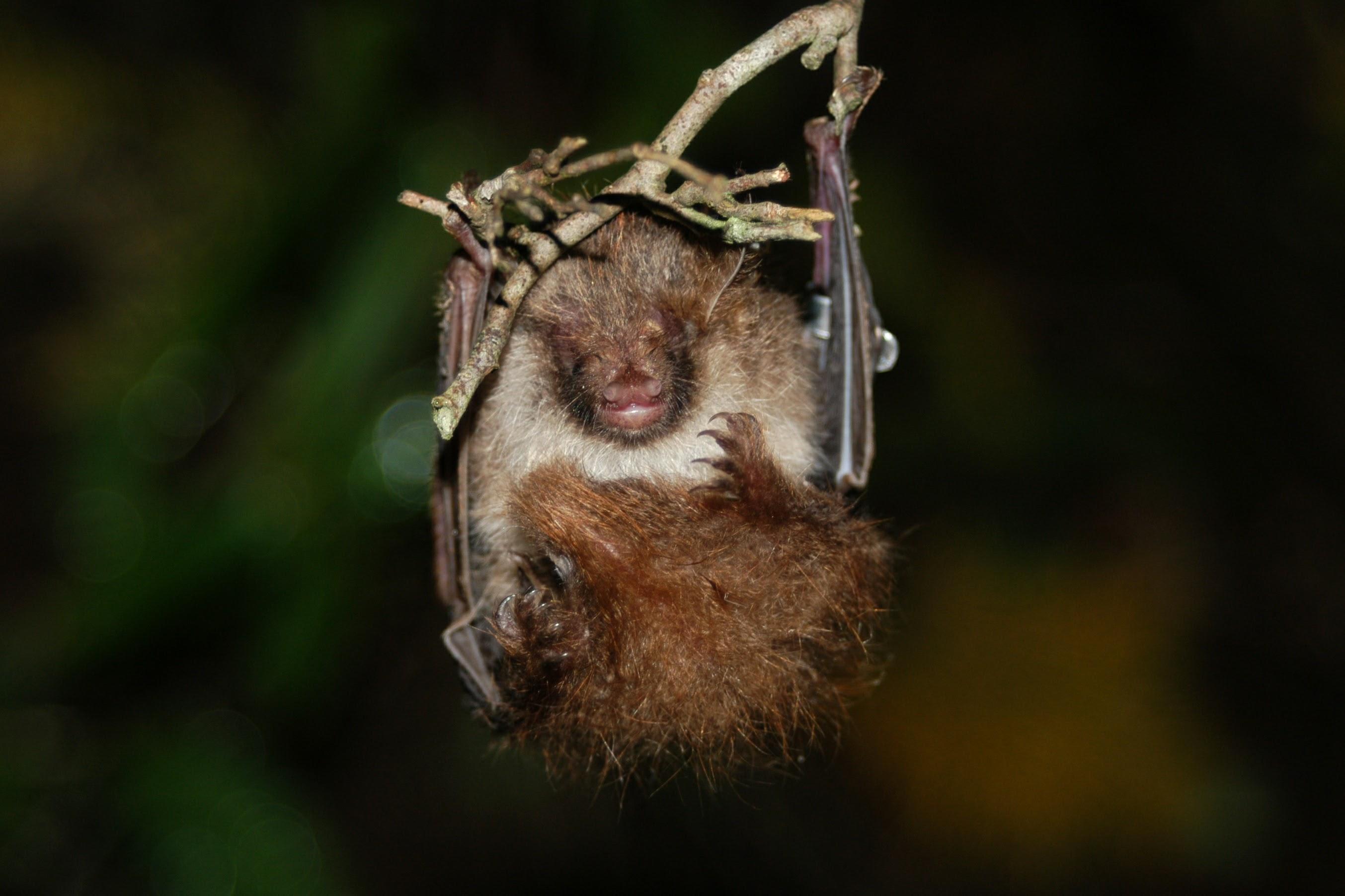 Ussuri Tube-Nosed Bat