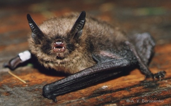 Myotis brandti (Source: http://commons.wikimedia.org user: ShvedAn)