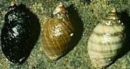 <i>Nucella</i> genus of molluscs