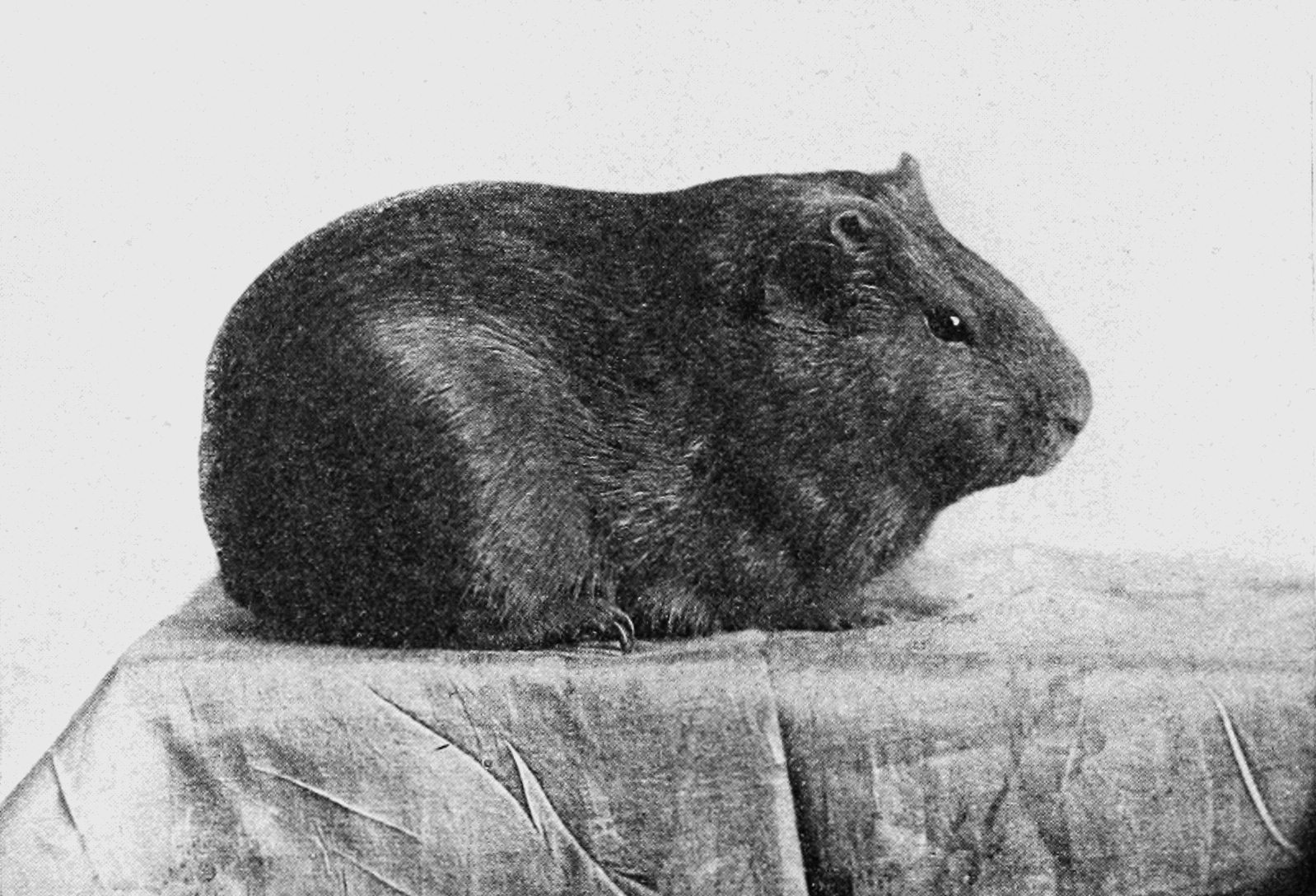 PSM V76 D430 A dark smooth haired guinea pig.png