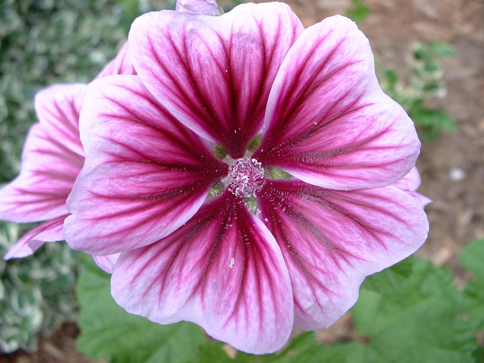 Fileperennial Geranium Flower Relic38g Wikimedia Commons