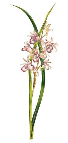 File:Phaius rosellus (1847).jpg