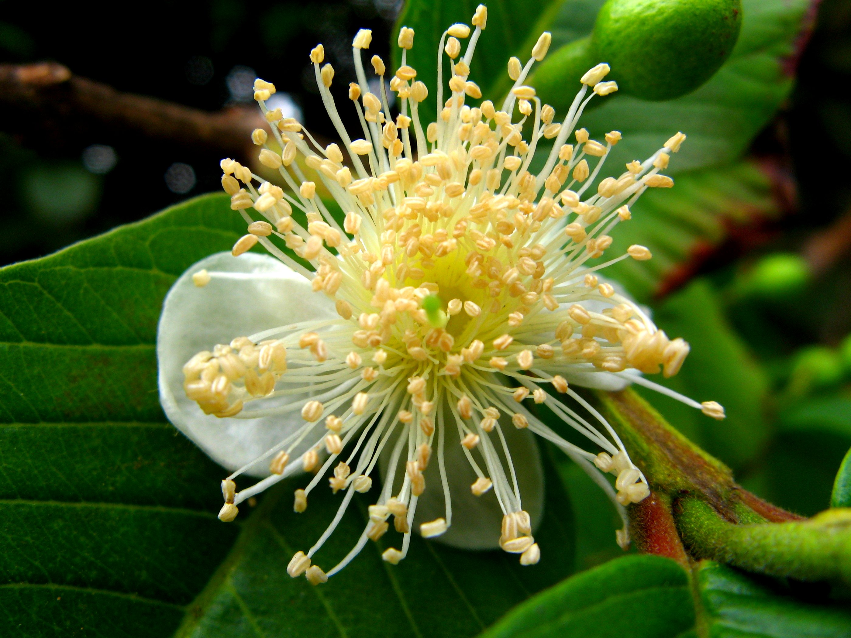 A guava flower
