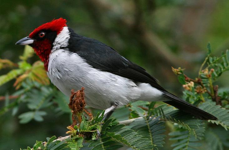 Ficheiro:Red-capped Cardinal.jpg