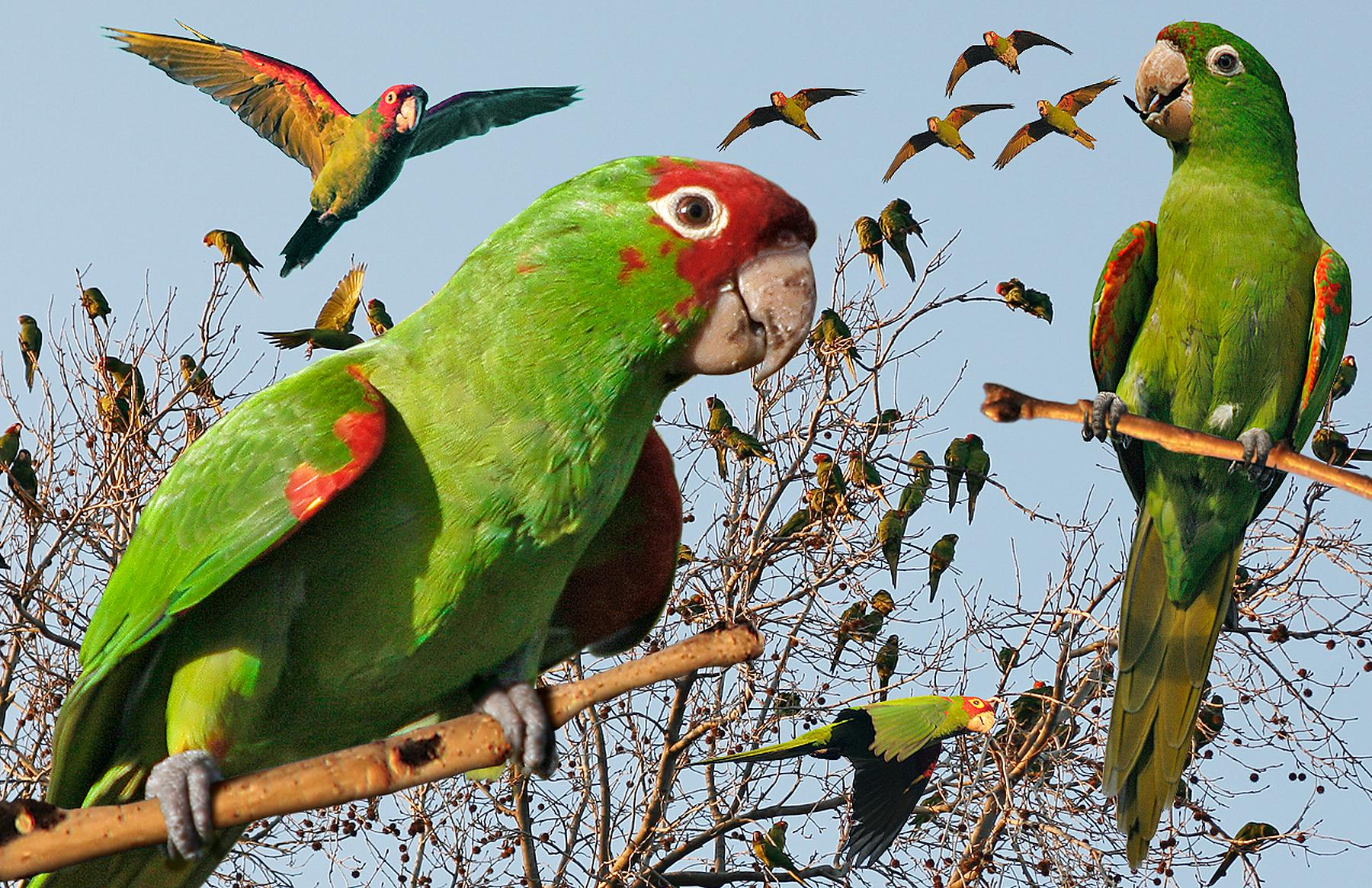 Red-masked_Parakeet_from_The_Crossley_ID_Guide_Eastern_Birds.jpg