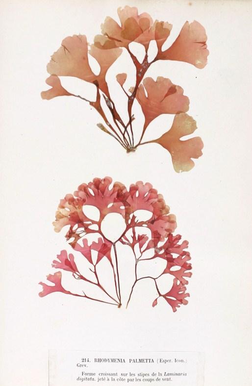 Resultado de imagen de rhodymenia pseudopalmata
