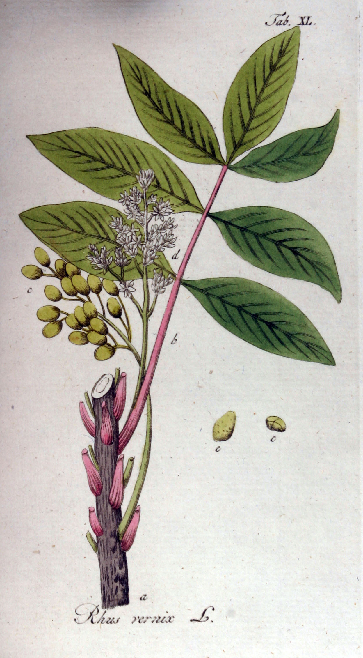 Toxicodendron vernicifluum  Tree Seeds  Chinese Lacquer