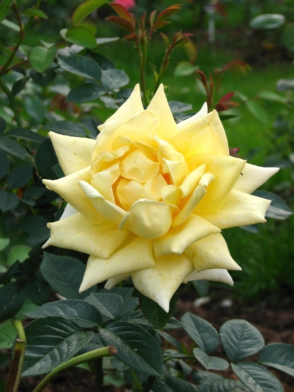 роза сорт ландора фото и описание также пояснила