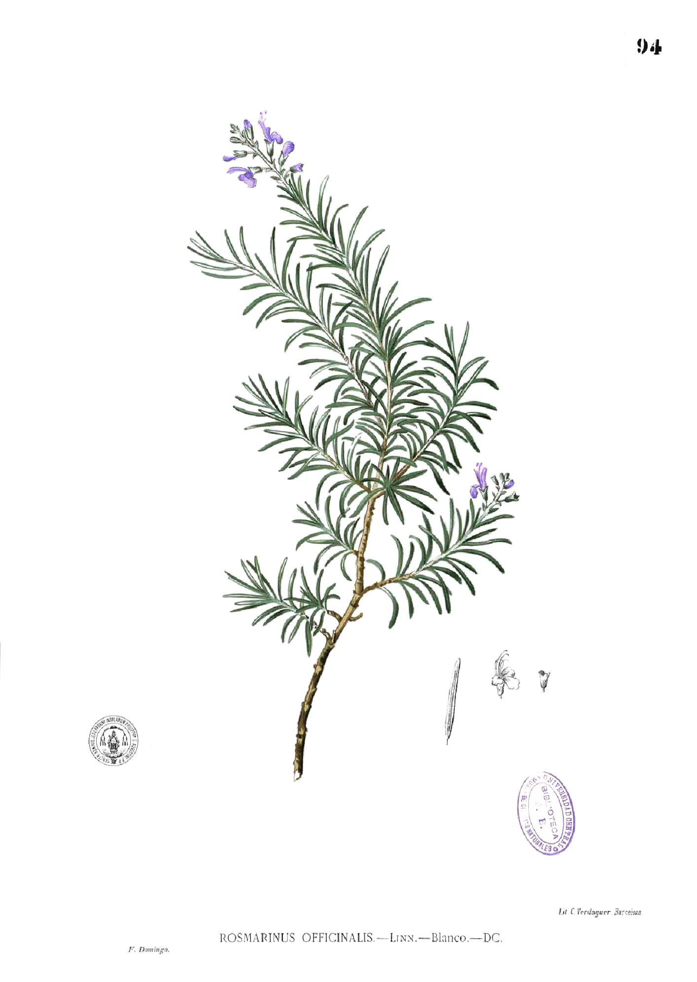 File:Rosmarinus officinalis Blanco1.94.png - Wikimedia Commons