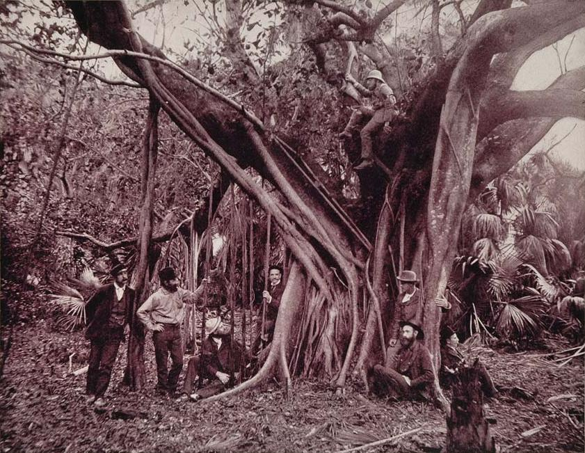 Rubber, or Banyan Tree, on Banana River, Florida.jpg