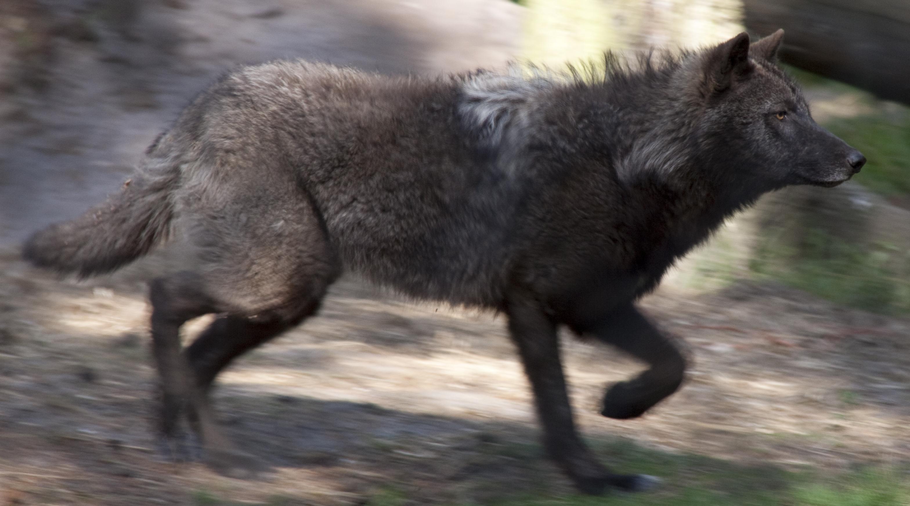 filerunning wolf 2 5696466615jpg