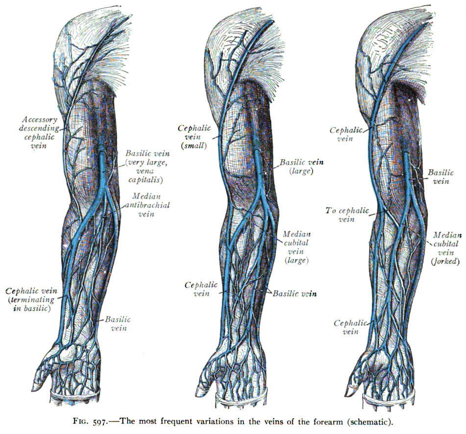 cephalic vein - wikipedia, Human body