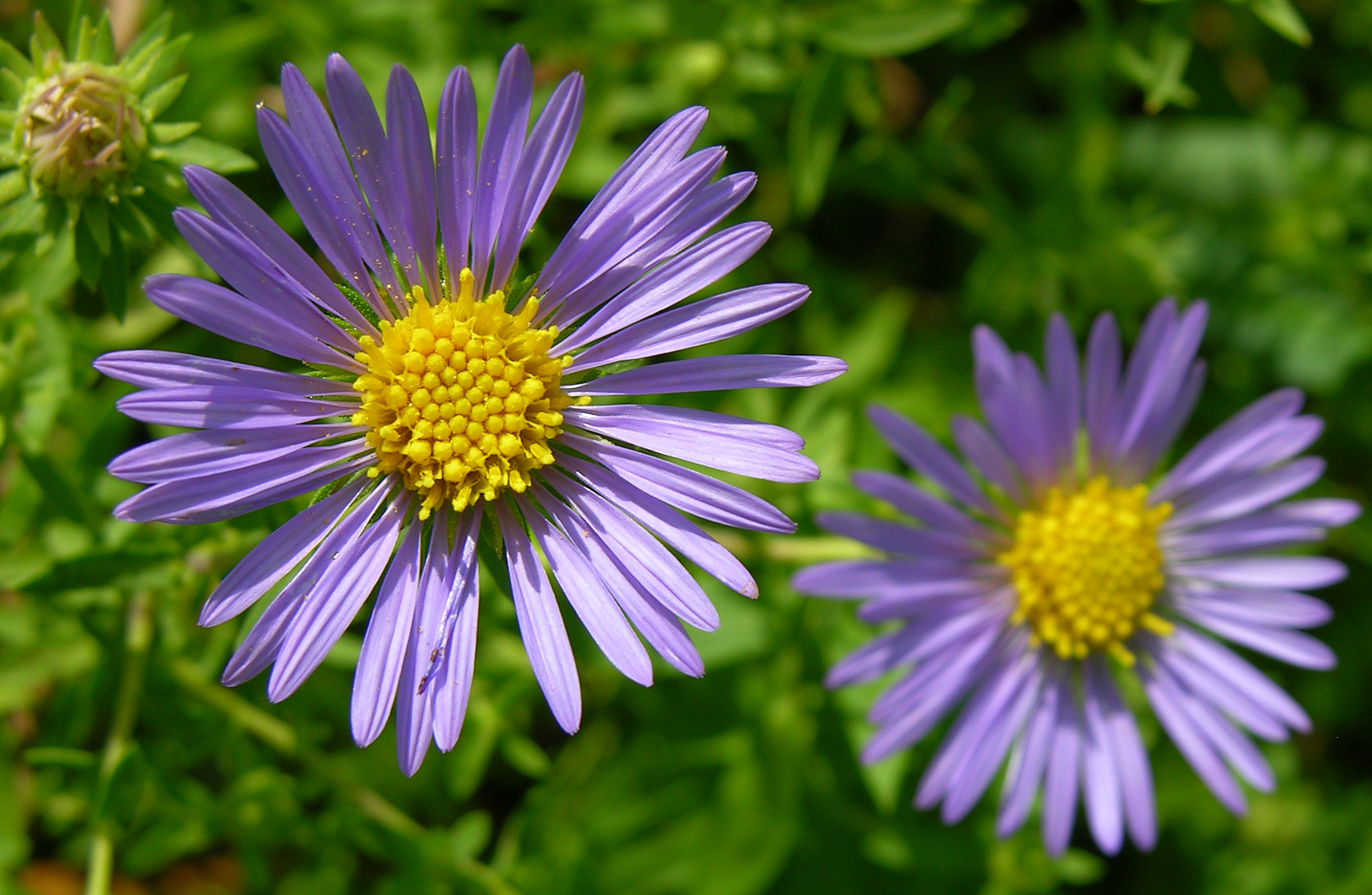File:Unidentified Purple and Yellow Flowers 2300px.jpg
