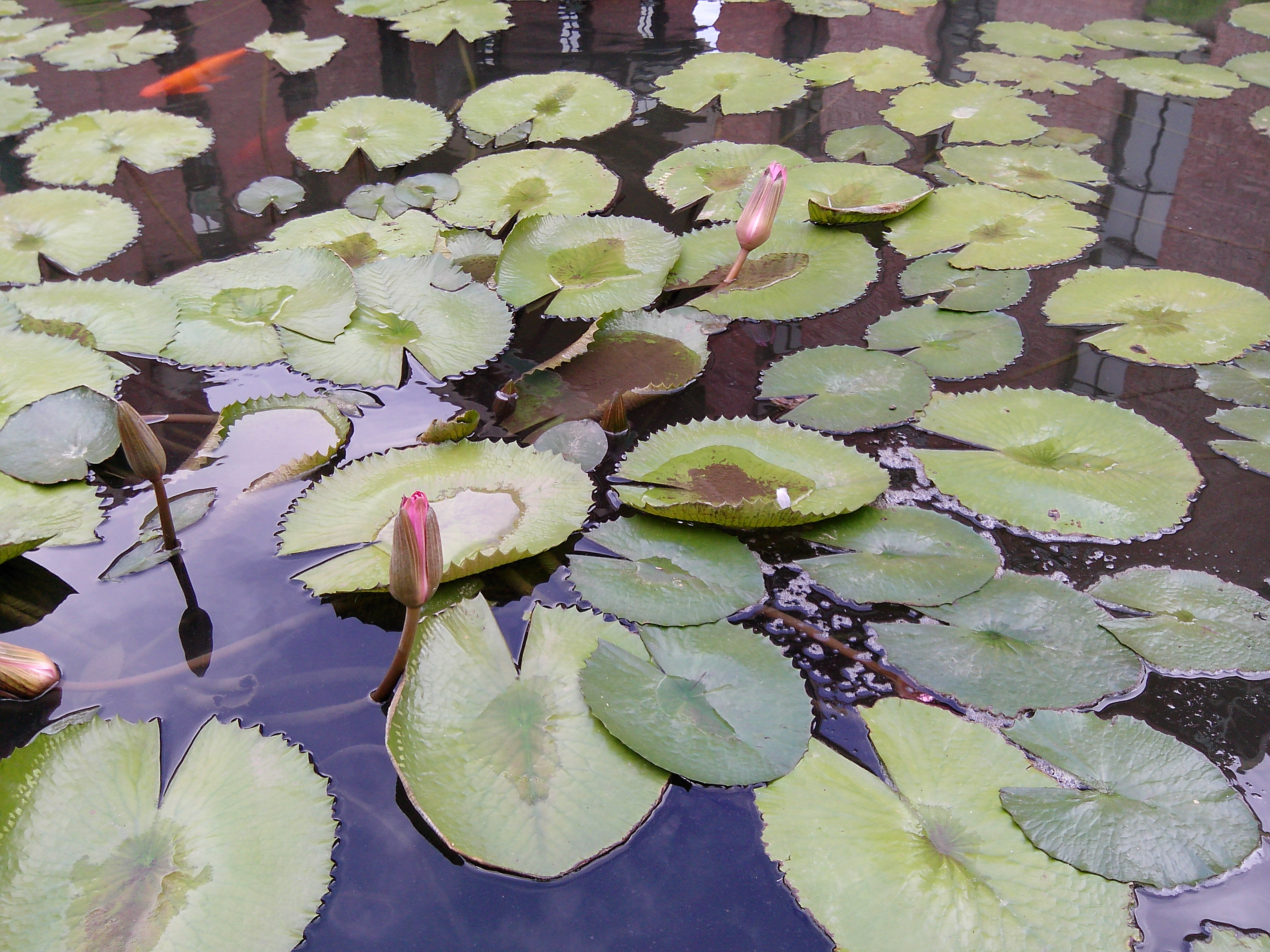 Filewaterlily Pond Of Tamil Nadujpg Wikimedia Commons