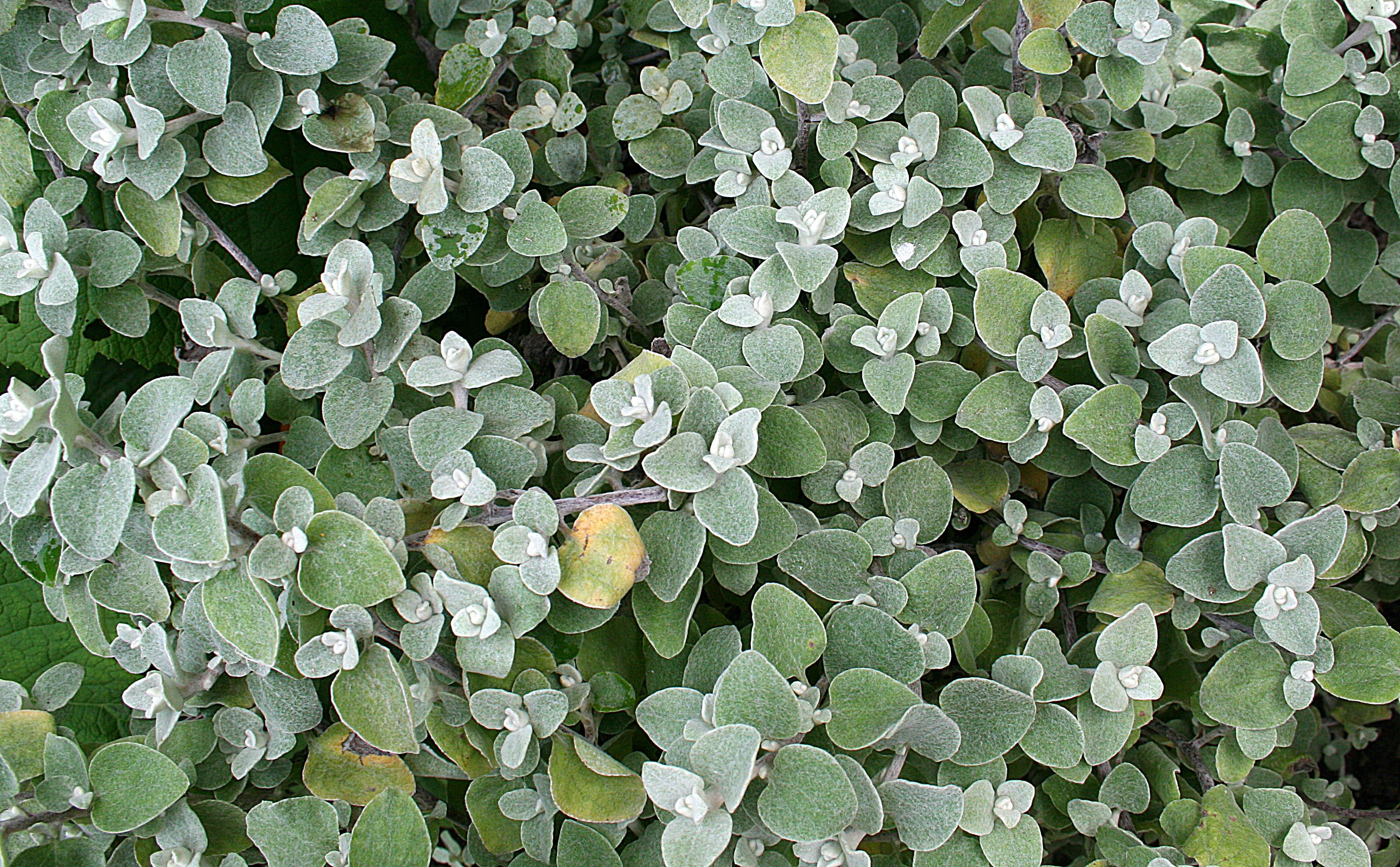 Risultati immagini per Helichrysum petiolare