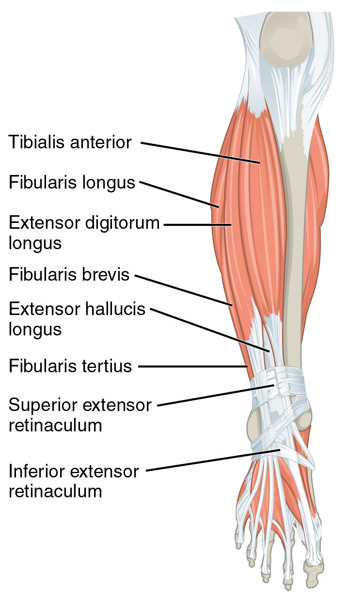 File1123 Muscles Of The Leg That Move The Foot And Toes Ag