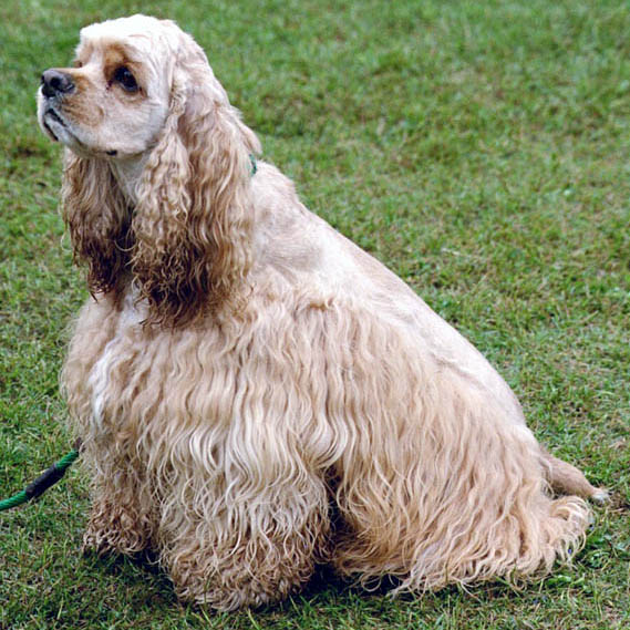 American Cocker Spaniel breed dog sitting