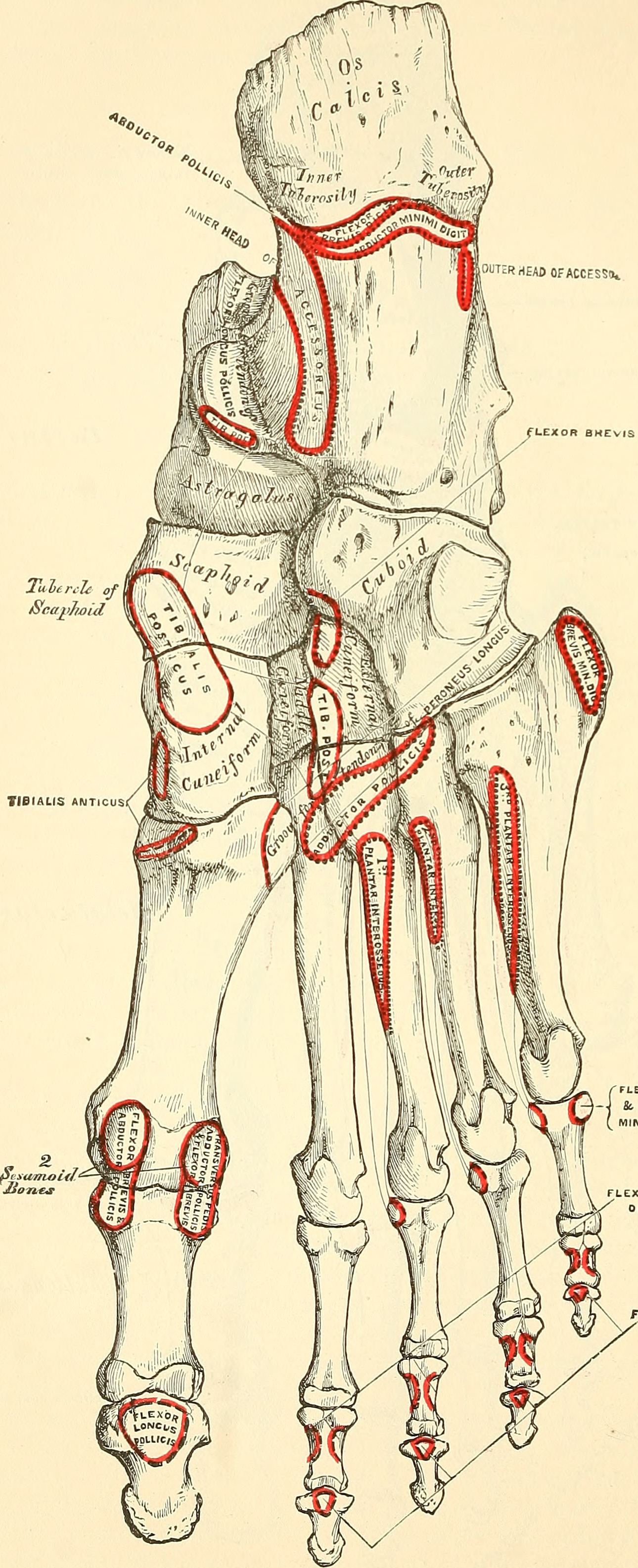File:Anatomy, descriptive and surgical (1887) (14579251897).jpg ...