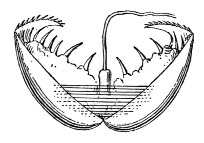 diagram of clam anatomy glochidium wikipedia  glochidium wikipedia