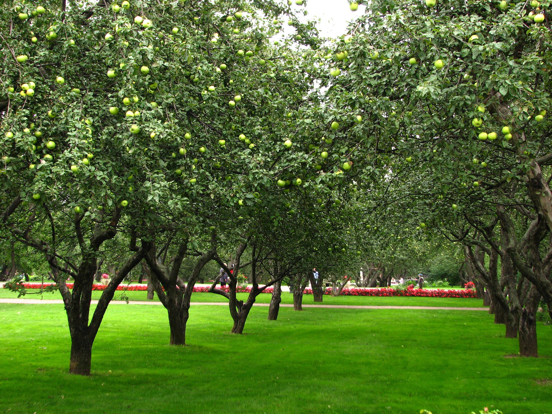 File Apple Orchards In Kolomenskoye 21 Jpg