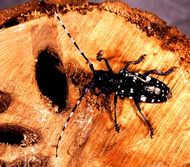 asian longhorned beetle and enviornment