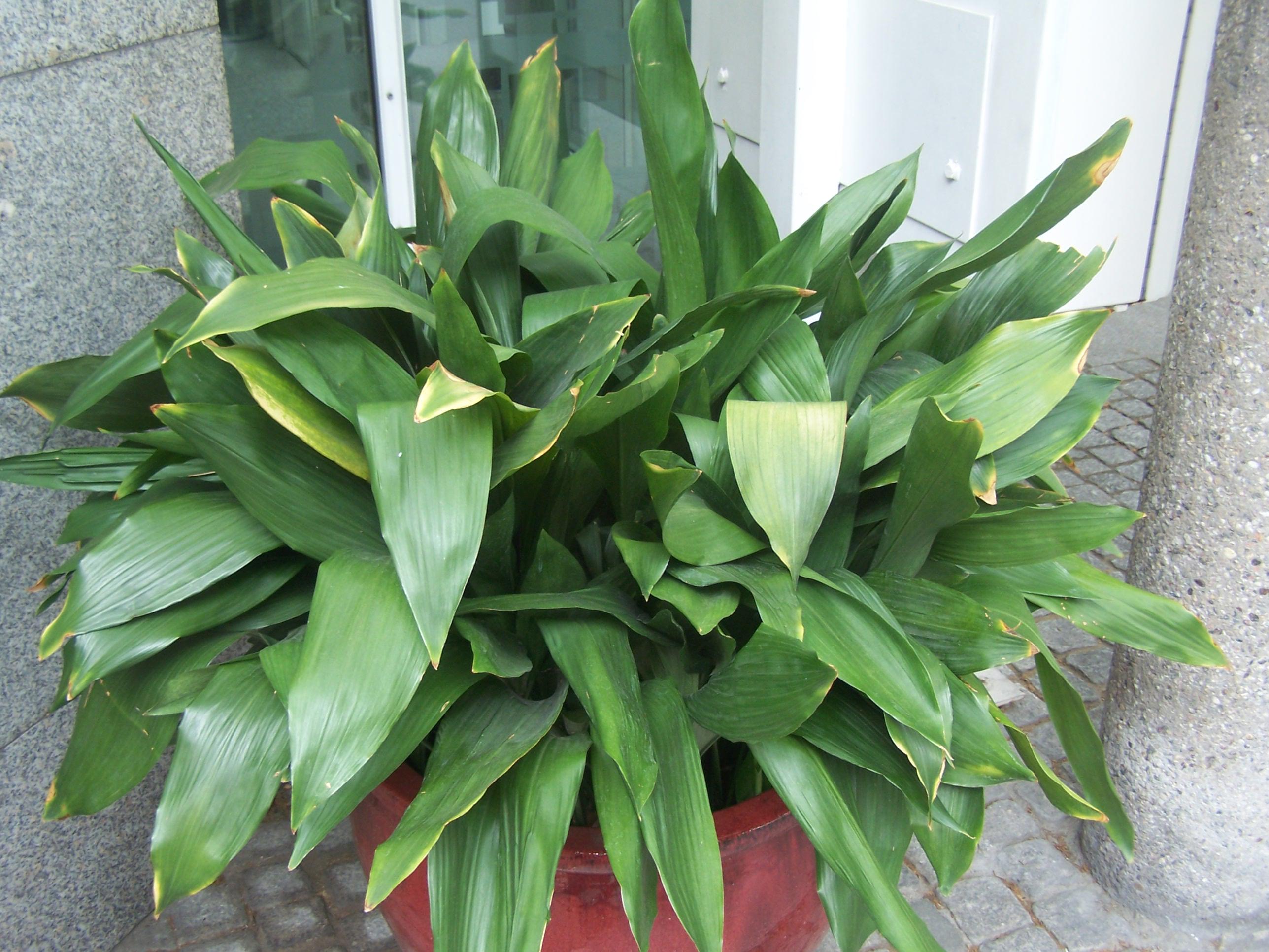 File aspidistra wikimedia commons - Plantas de interior bonitas ...