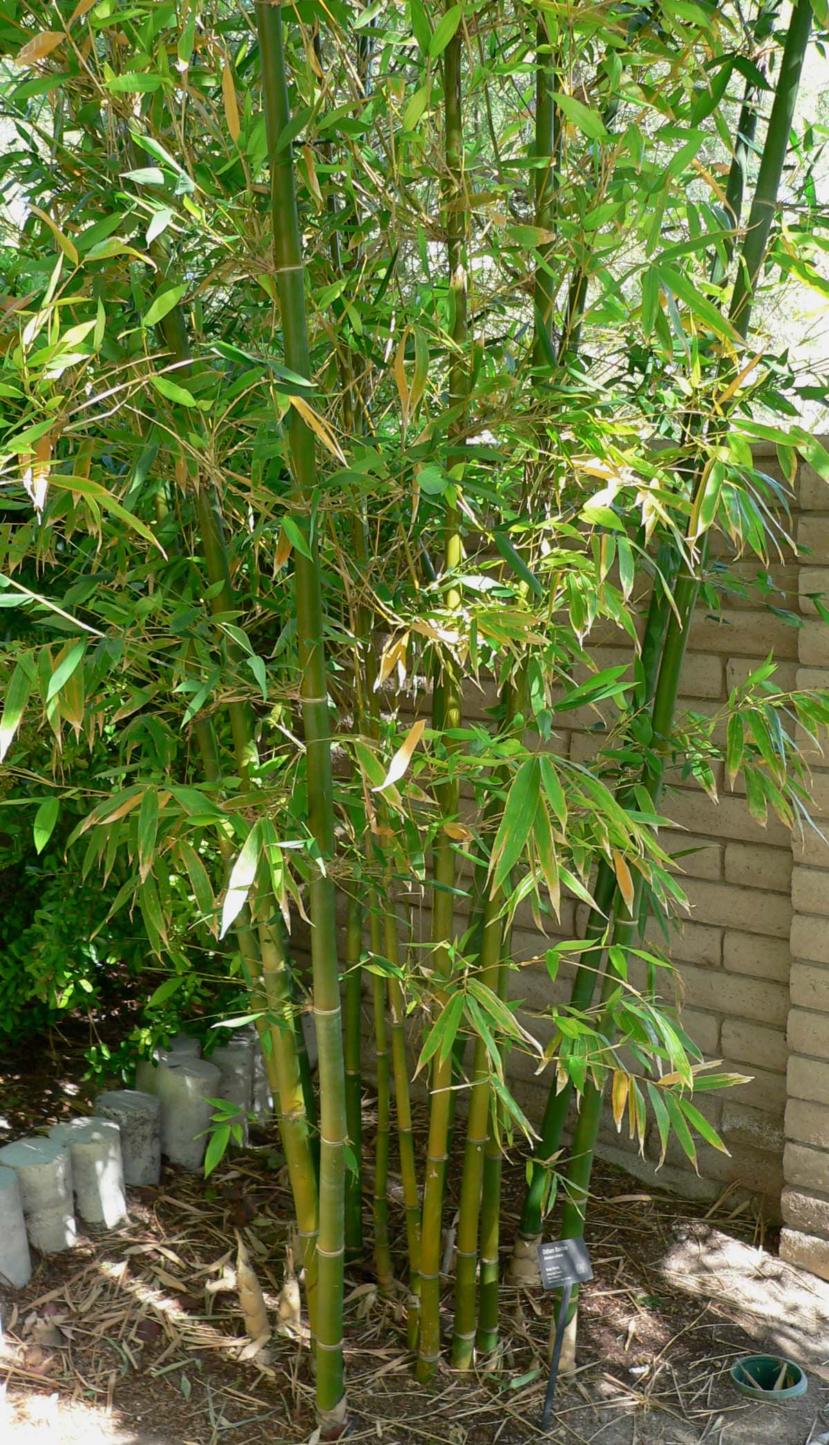 lucky bamboo plants for sale with Bambusa on How To Plant Bamboo also Buy Monstera Deliciosa Plants Online India additionally Potted Plants together with Yucca Plant 2 Canes likewise Bambusa.
