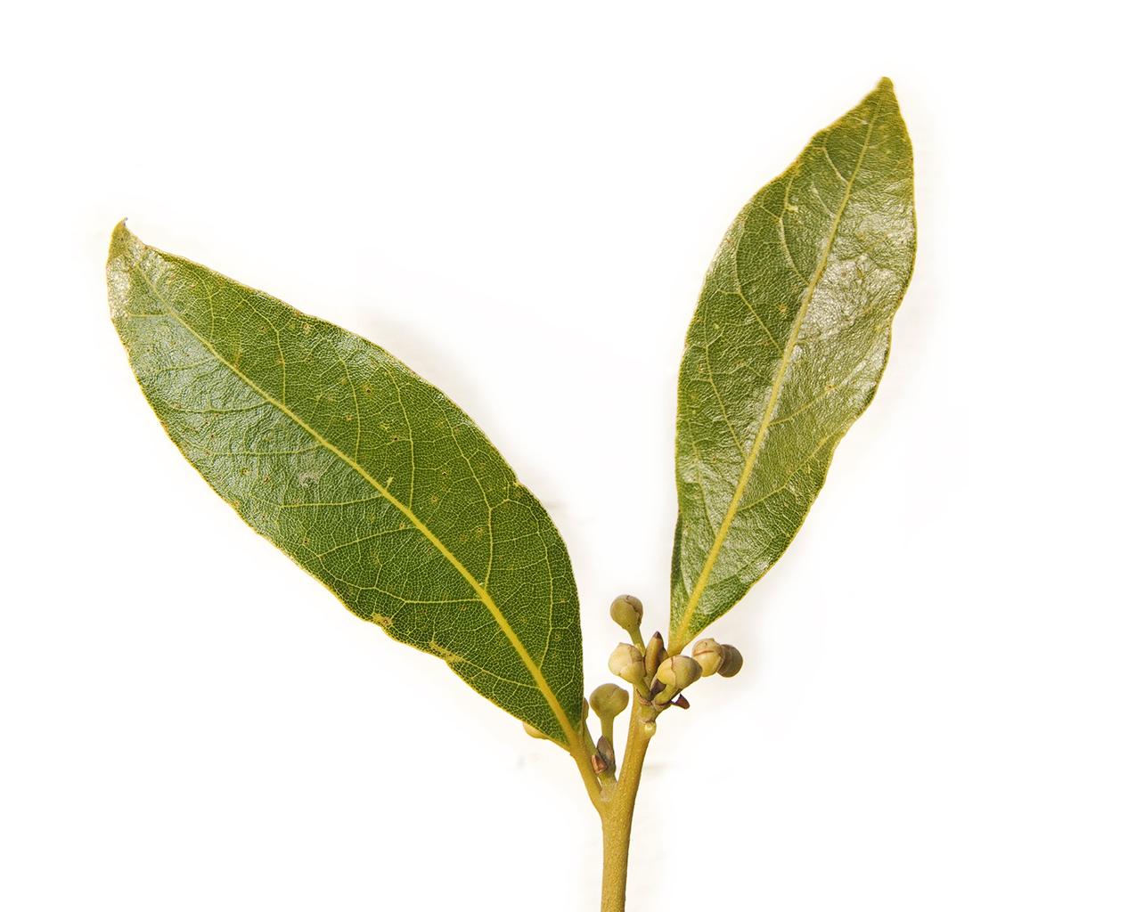 laurel used in Aleppo soap