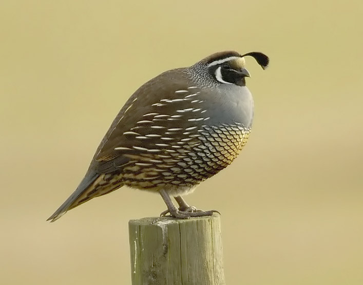 File:California quail.jpg