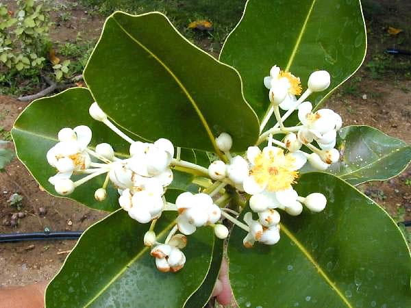 ファイル:Calophyllum-inophyllum03.jpg