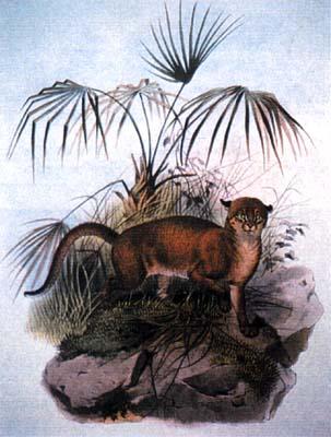 """""""Catopuma badia John Gray"""" by John Gray - William Jardine's The Natural History of The Feline. Licensed under CC BY-SA 3.0 via Wikimedia Commons - https://commons.wikimedia.org/wiki/File:Catopuma_badia_John_Gray.jpg#/media/File:Catopuma_badia_John_Gray.jpg"""