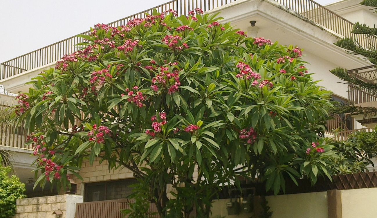 File Champa Tree With Pink Flowers In Islamabad Pakistan