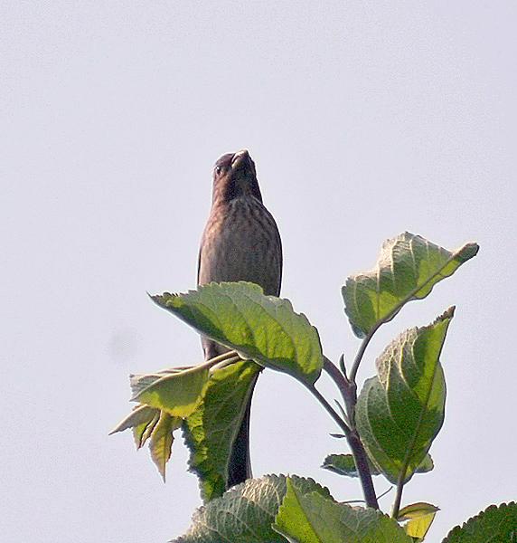 ไฟล์:Common Rosefinch I IMG 3959.jpg