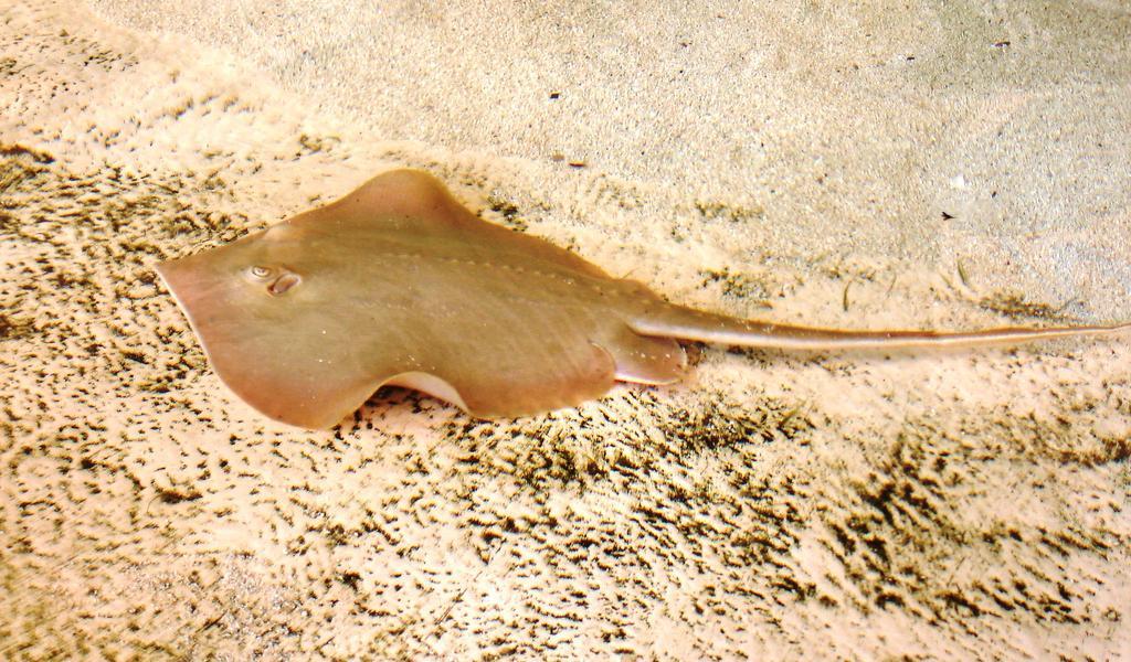 Atlantic stingray wikipedia for Is a stingray a fish