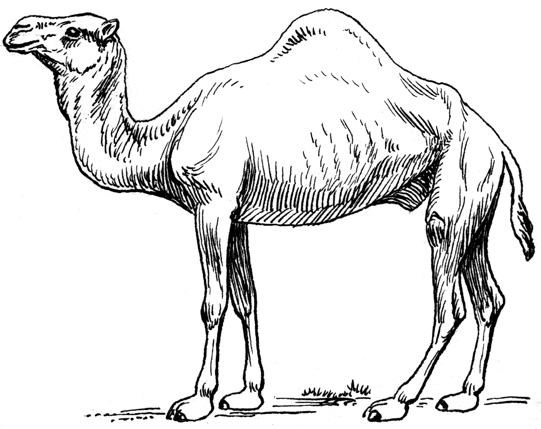 Dromedary camel coloring page