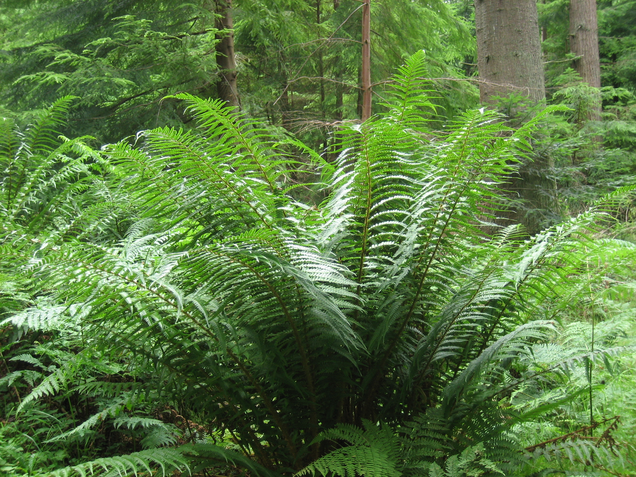 Scaly male fern