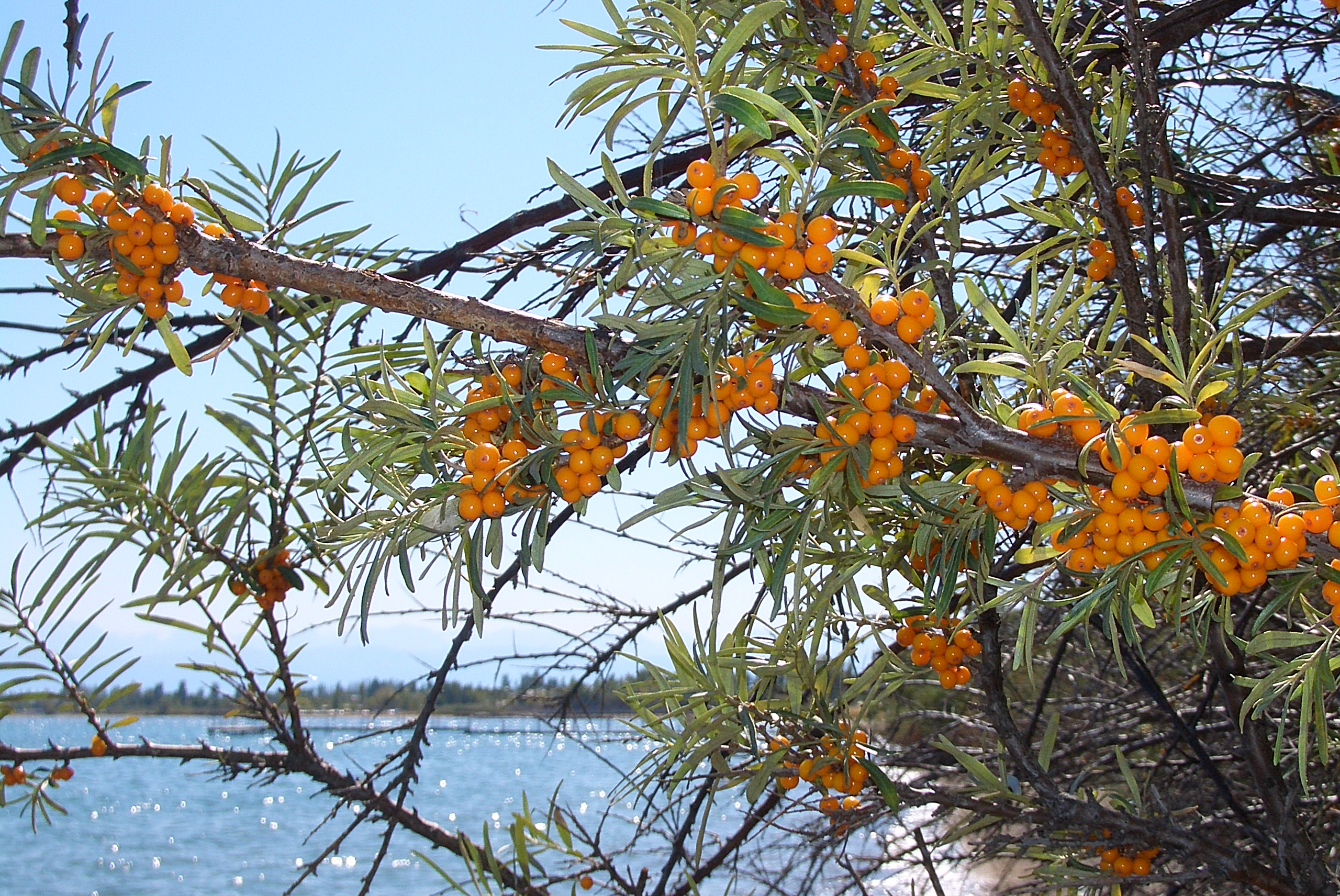 Click Here for seabuckthorn