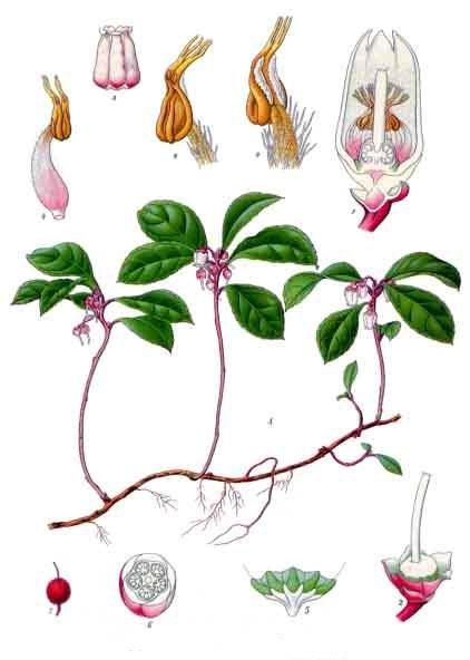 Ilustración planta medicinal: Gaultheria procumbens