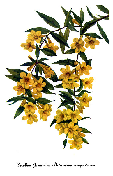 File Gelsemium Sempervirens By Mary Vaux Walcott Jpg