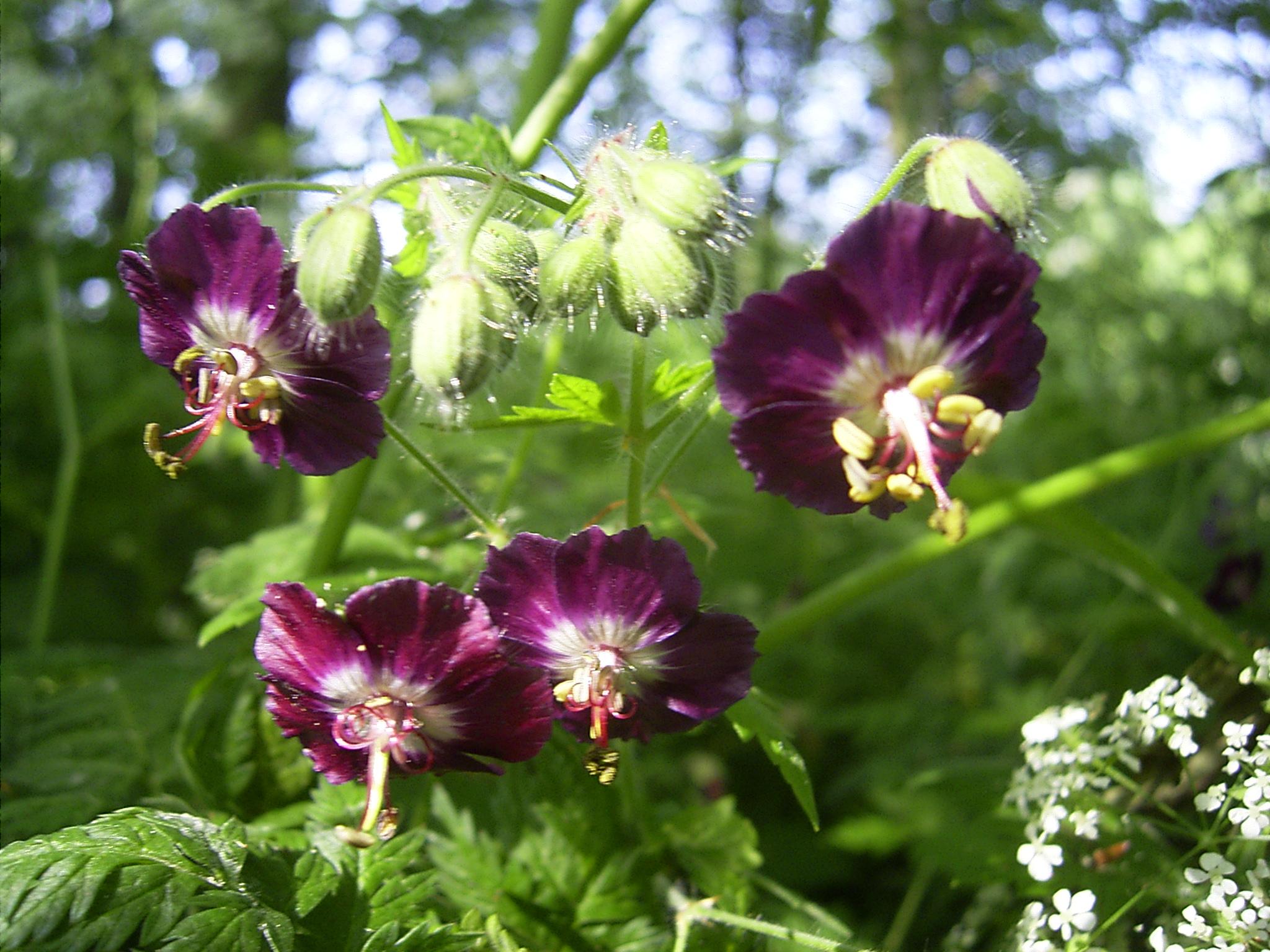 File:Geranium phaeum flowers.jpg