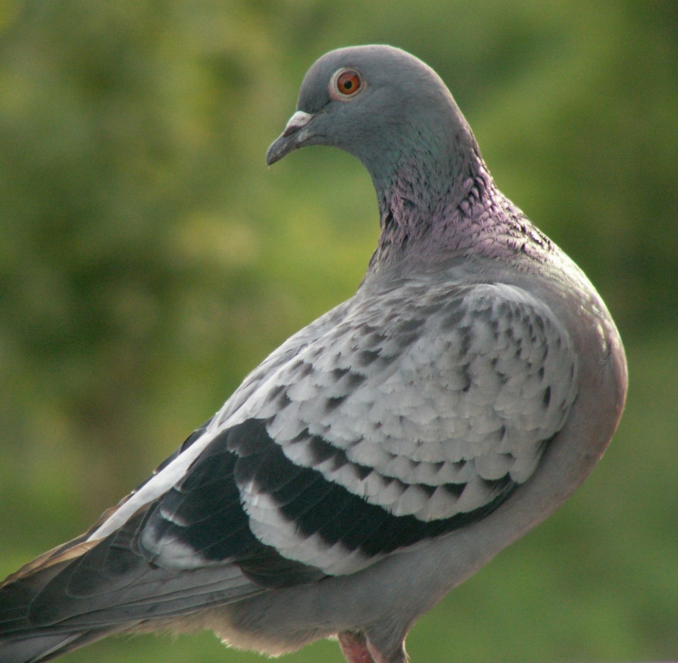 IP посредством почтовых голубей — Википедия